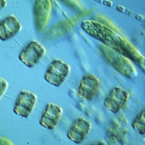 Microalgae – systematics, taxonomy and species identification